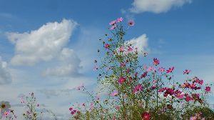 野草に関する情報をお寄せください! 秋は コスモス・・・  土手道では ススキとセイタカアワダチソウが 競演しています。  今週は 秋晴