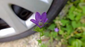 野草に関する情報をお寄せください! アマガエルが元気に鳴いています、今日は 蒸し暑くなっています。  車の側で キキョウソウが咲いていま