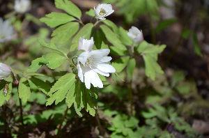 野草に関する情報をお寄せください! 皆様お元気の事と思います、相変わらずの季節外れの写真ですがお許しください。 アズマイチゲが沢山咲いて