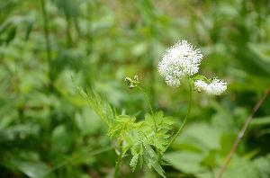 野草に関する情報をお寄せください! 「カラマツソウ」が可憐な花を見せていました。
