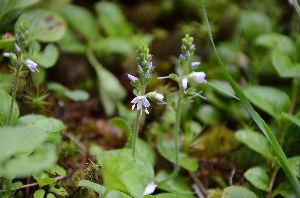 野草に関する情報をお寄せください! 東信地区固有種と言われている「グンバイヅル」です。 お花が小さくて撮りづらいです、因みにまだマクロレ