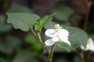 野草に関する情報をお寄せください! 八重咲の「ドクダミ」が今年も沢山咲きました。
