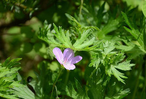 野草に関する情報をお寄せください! 庭の「アサマフウロ」が咲き出しています。 この花はなかなか本当の色を写真に写すことが出きません。