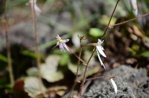 野草に関する情報をお寄せください! 小さな「ユキノシタ」が咲いています。 今年は変わった花は咲いていません。