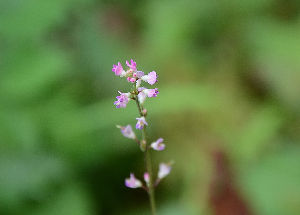 野草に関する情報をお寄せください! 小さな花は撮るのが苦手ですが秋の花萩です。