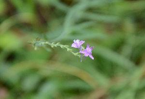 野草に関する情報をお寄せください! この花も小さいですが園芸種だと思います。