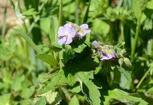 野草に関する情報をお寄せください! 湯ノ丸高原で見つけた「グンナイフウロ」です。 花の時期には早かったのですが、おかげでこの花に久しぶり