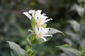 野草に関する情報をお寄せください! 我が家の庭にも白色のホトトギスが咲き始めました。