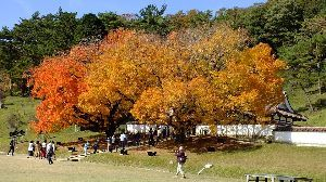 """野草に関する情報をお寄せください! 閑谷学校の""""カイノキ"""" 見ごろを少し過ぎていましたが まだまだ綺麗でした。"""
