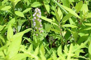 野草に関する情報をお寄せください! 次に会えたのは「ハクサンチドリ」です、脇に小さな花がいますね。