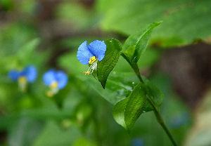 野草に関する情報をお寄せください! 「露草」が沢山咲いています、ある小説で「蛍草」の別名があるとか。 年のせいかこんな花に愛らしさを感じ