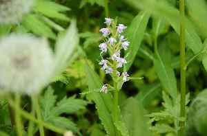 野草に関する情報をお寄せください! 次は登山道の脇に咲いている「オノエラン」です。 低い姿勢でやっと撮ることが出来ました。