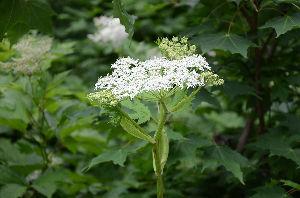 野草に関する情報をお寄せください! 同じく道端の「シシウド」が大きな花をつけていました。