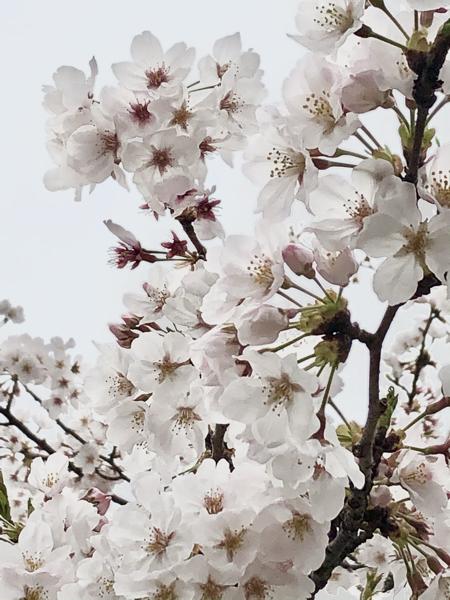 4582 - シンバイオ製薬(株) ありがとうございます 素敵な写真ですね  私も撮りました!  シンバイオも 桜のような穏やかになりま