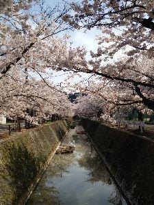 マターリ連絡用 近くの川沿いの桜です