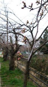 マターリ連絡用 福井と石川の県境付近(自分の家)の桜の様子。