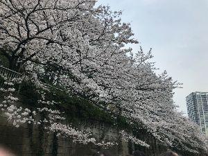 NEWビジネスマンfrom東京 目黒川桜クルーズです!