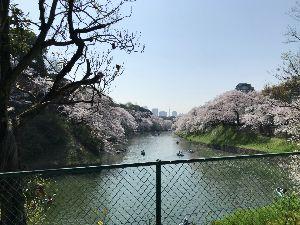 NEWビジネスマンfrom東京 東京も桜の名所 千鳥ヶ淵です!