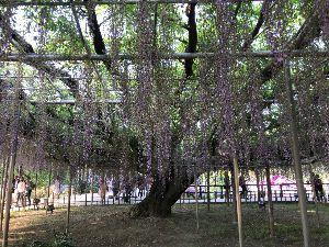 NEWビジネスマンfrom東京 あしかがフラワーパーク! 行って来ましたよ! でも藤色の藤にはちょっと遅かったよ。