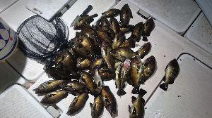 明石、播磨周辺の船釣りの釣果の交換の場 今年のメバルは、数釣れないな… その代わり、型が大きいですね🎵 土曜日半夜の釣果です❗