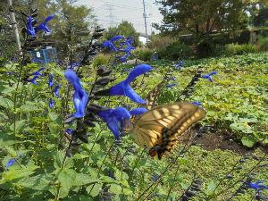 親と子と花と、、、そして時には独り言 畑の中央花壇で アゲハチョウが食事中。  チョウは舞う、、、こちらから見れば。 チョウは警戒して距離