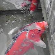 錦鯉・金魚など観賞魚の話をしましょう・・