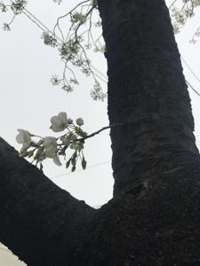 7707 - プレシジョン・システム・サイエンス(株) この記事をお読み頂いた皆さんだけが 知り得る情報なのですよ。世田谷桜丘  白いさくらが綺麗でしたよ。