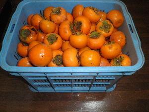 鈴鹿山系 今年の柿は小ぶりですが、沢山なりました、 近所におすそ分けもしましたが、まだまだ沢山残ってます、 誰