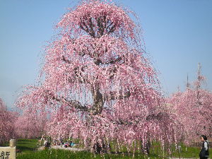 鈴鹿山系 金曜日に鈴鹿の森庭園に行ってきました。 入園料は1000円とチョット高めですが、しだれ梅の見事さに圧
