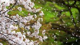 6628 - オンキヨー(株) 散る桜 残る桜も 散る桜 どうせ。おんきょは、糞まみれ(w
