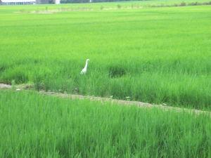 77歳のおじぃちゃんです。 稲刈りをした後の田圃に毎日来る白鷺。 餌になるものがあるから来るのでしょう。 時には首を下に向けて餌