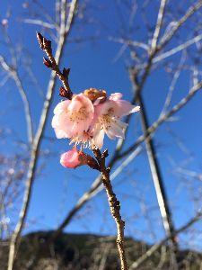 喫茶クローバー これは10月桜でげそ!