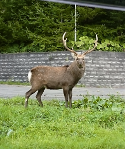 6366 - 千代田化工建設(株) 鹿と一緒に煮たらどうでしょうか? 鹿肉送りましょうか?皮付きで100Kgくらい。  鹿肉フレンチ美味