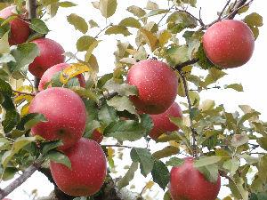 50~70歳でパソコンを始められた方! 一年ぶりに矢板市長井のKリンゴ園に、 平日なのにマイカーが多く混雑しています。 りんごではフジが一番