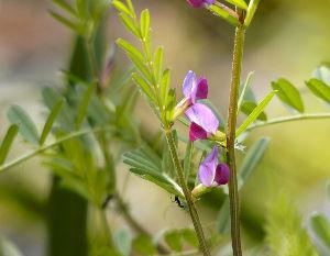飯田下伊那地方の60歳以上の男女集まれ 田んぼの畦に、 スズメノエンドウが咲き出しました。 田の代掻きも始まりそうです。