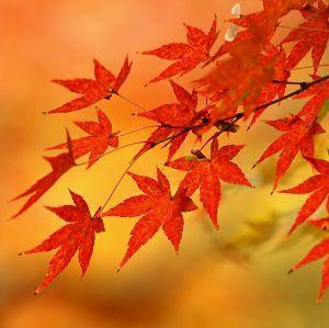 ★五・七・五DEつなげましょう★ 秋日和  今年のもみじ  どうなるの
