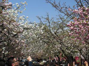 ∞少年少女∞ ∞桜っ!∞  暖かくなっていよいよ桜の季節になりました  で、こちらでは桜ち