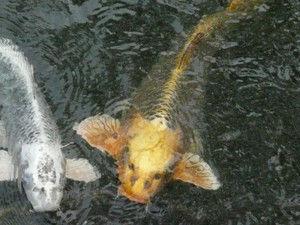 4004 - 昭和電工(株) 人面魚は昭和電工をしっている 4000円のことは 山形県の善法寺の御池に御餌をまいて 魚文字で教えて