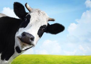 4004 - 昭和電工(株) 牛さんも相手にしないよ 干支の牛さんは事前に想定してからぁ 買ってるから2000円台で買ってるよ!