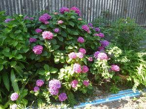 ひとり者 ひとり暮らし おはようございます。  相変わらず雨の降らない梅雨が続いています。  わっこさん、紫陽花が見ごろです