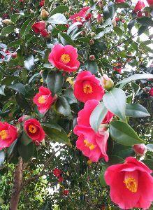 何となく♪  女性限定です♪ みなさん 今晩わ。  いつもの散歩コースの神社の境内に 見事な椿の木が有ります。 この色は私の好きな