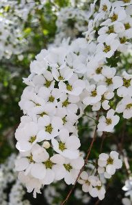 何となく♪  女性限定です♪ 今日も春らしい、うららかな日でした。  ユキヤナギも満開でした。 ものすごく小さい花なのに、密集して