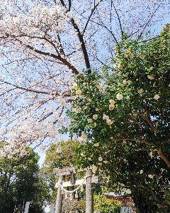 何となく♪  女性限定です♪ こんにちは  みなさん。  お天気が良くて、春うららです。 桜は入学式のころ、満開の予想でしたが、