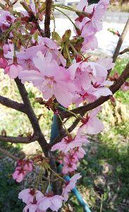 何となく♪  女性限定です♪ ずっと続いてますね、春の陽気!  こんにちわ~。 みなさん。  次々と春の花が咲き、野の花だって 勢