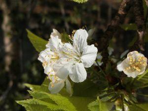 レイシ(ライチ?)、アボガドが芽を出した 明けましておめでとうございます、   去年のさくらんぼの花です、ことしも咲いてくれるとうれしいなぁ~