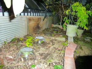 レイシ(ライチ?)、アボガドが芽を出した  朝晩は冷えてきましたね エアコンをこっそり入れてえへへ♪なんて事に為ってます コタツを入れるか?も
