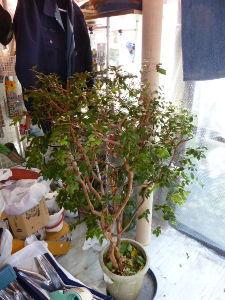 レイシ(ライチ?)、アボガドが芽を出した お天気模様はぐずぐずの雨模様が連続でしたが・・このところは晴れ間も見えて外作業もできるかな?となって