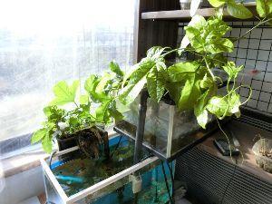 レイシ(ライチ?)、アボガドが芽を出した わ~!わ~!わぁ~~!困った! つい先日まで寒いよ~と言ってたら、あれ?通勤途中の庭で(他人の庭です