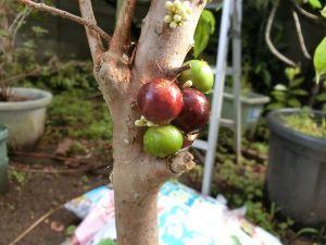 レイシ(ライチ?)、アボガドが芽を出した おお~sami7さんのビワは手と比較して見ると大粒ですね、当方(お隣さんの・・ですが)のビワは摘果も