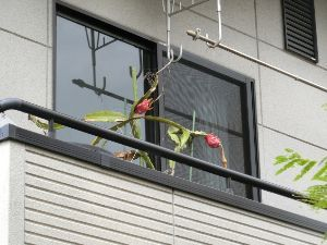 レイシ(ライチ?)、アボガドが芽を出した ど・どうしましょう~もう11月になっちゃいますよぉ~寒さのための避難をしなければ・・です、 でも年々